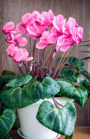Flowering cyclamen with flowers and green leaves.