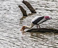 Yala NP - Painted Stork