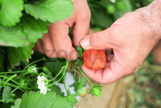 Farmer's hands picking strawberries in the field