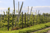 Trellis fruit plantation on Lake Constance, May