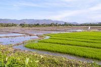 Rice paddies, Thailand