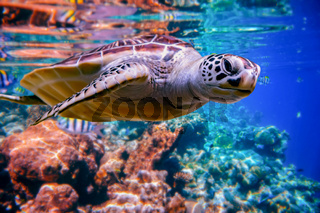 Sea turtle swims under water on the background of coral reefs