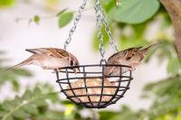 Sparrows at a bird feeder