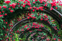 tunnel of roses