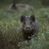 Wild Boars * Sus scrofa * in the undergrowth of a forest, wildlife