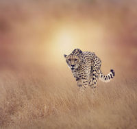 Cheetah walking in the grassland