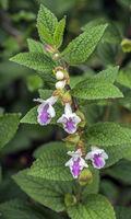 Bastard balm 'Melittis melissophyllum'