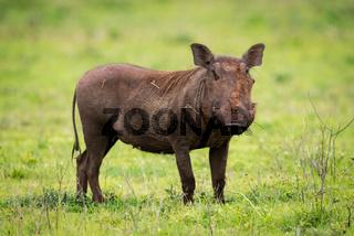Warthog standing staring at camera in grassland