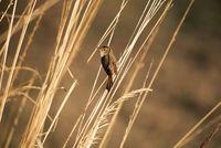 Plain prinia, Prinia inornata, Ranthambore national park, Rajasthan, India.