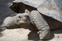 Galápagos giant tortoise (Chelonoidis nigra ssp), Isabela Island, Galapagos Islands, Ecuador