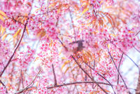 Pink Cherry Blosssom and yellow leaves with blue sky