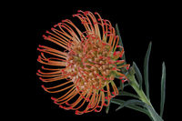 Blossom (Proteaceae)