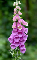 Fingerhut, Digitalis purpurea