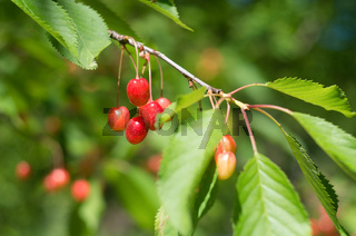 Ripe red cherries of the tree. Sweet cherries on a branch just before harvest in early summer.