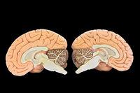 Models of two brain halves on black background