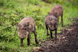 Three young warthog following track in line