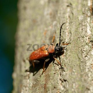 Rothalsbock (Stictoleptura rubra) auf einem Baumstamm