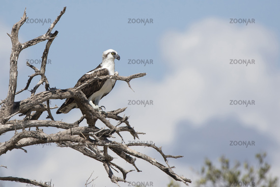 Cuban Osprey that sits on the dry branches of a tree on the shore of the sea lagoon