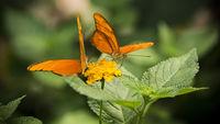 Two Dryas Iulia Butterflies