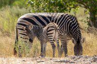 Zebra in bush, Botsvana Africa wildlife