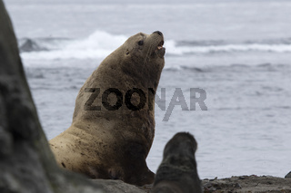 A male Steller sea lion sitting on a sandy beach on a summer day