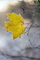 Autumn leaf . Bright autumn leaf. Change sheet color