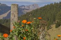 Flowering gerbera plants against a mountain backdrop