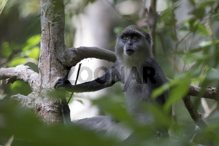 young blue monkey or diademed monkey who sits on a branch in the Zanzibar jungle