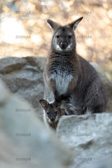 Red-necked Wallaby with baby in bag