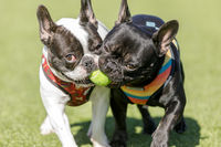Two French Bulldogs fighting over a ball.