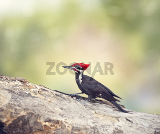 Pileated Woodpecker Male on a log
