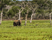 Yala NP - Elephant in a reed bed