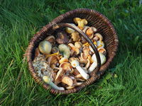 Basket with different edible mushrooms