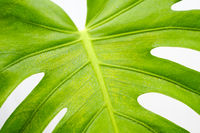 monstera leaf closeup , philodendron plant leaves macro