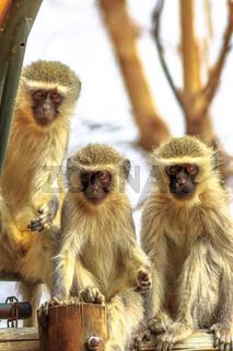 Three Vervet Monkey