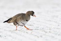Greater White-fronted Goose * Anser albifrons * in winter, searching for food on snow covered farmla