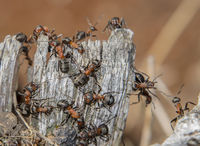Red wood ant 'Formica rufa'
