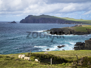 At Clogher Head Peninsula Dingle Ireland with sheep