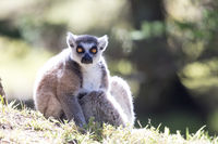Ring-tailed Lemur (Lemur catta) catching morning sun