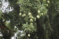 Mangotree with fruits