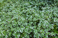 Varieagated leaves of decorative Goutweed plant or Aegopodium podagraria for gardening