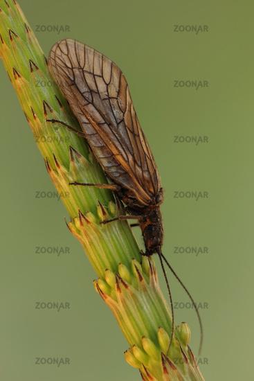 Mud Fly (Sialidae)