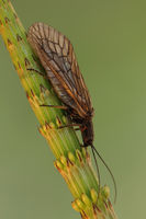 Mud Fly (Sialidae)