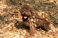 Dog with long hair rebel portrait high quality lagotto romagnolo rasta