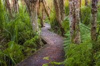 Boardwalk through lush coastal rainforest and swamp lands