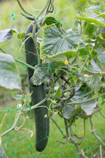 The growth and blooming of garden cucumbers - close up