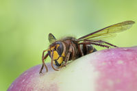 European Hornet - Detailed Macro Stack, Vespa crabro, Hornisse
