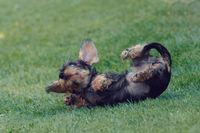 cute female of brown dachshund
