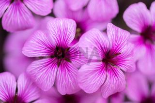 Pink-Sorrel (Oxalis articulate) blooming