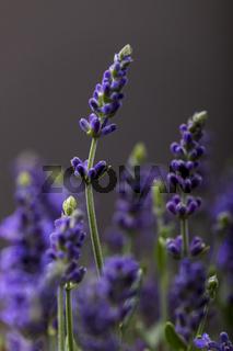 Lavendelpflanze in voller Blüte